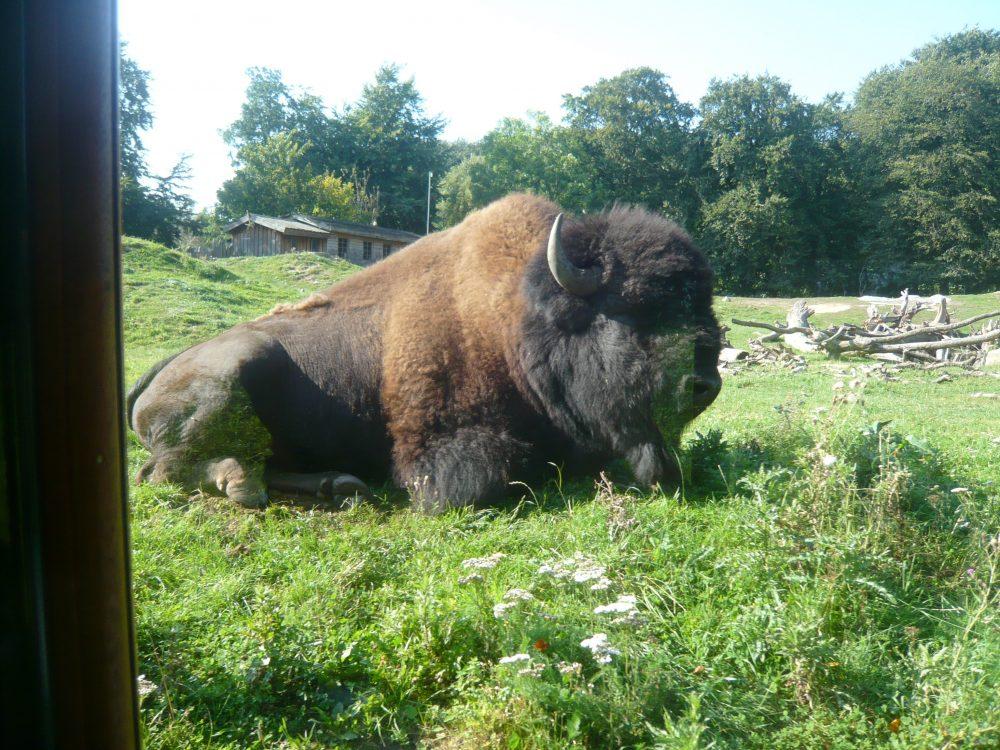 Djurs Bison