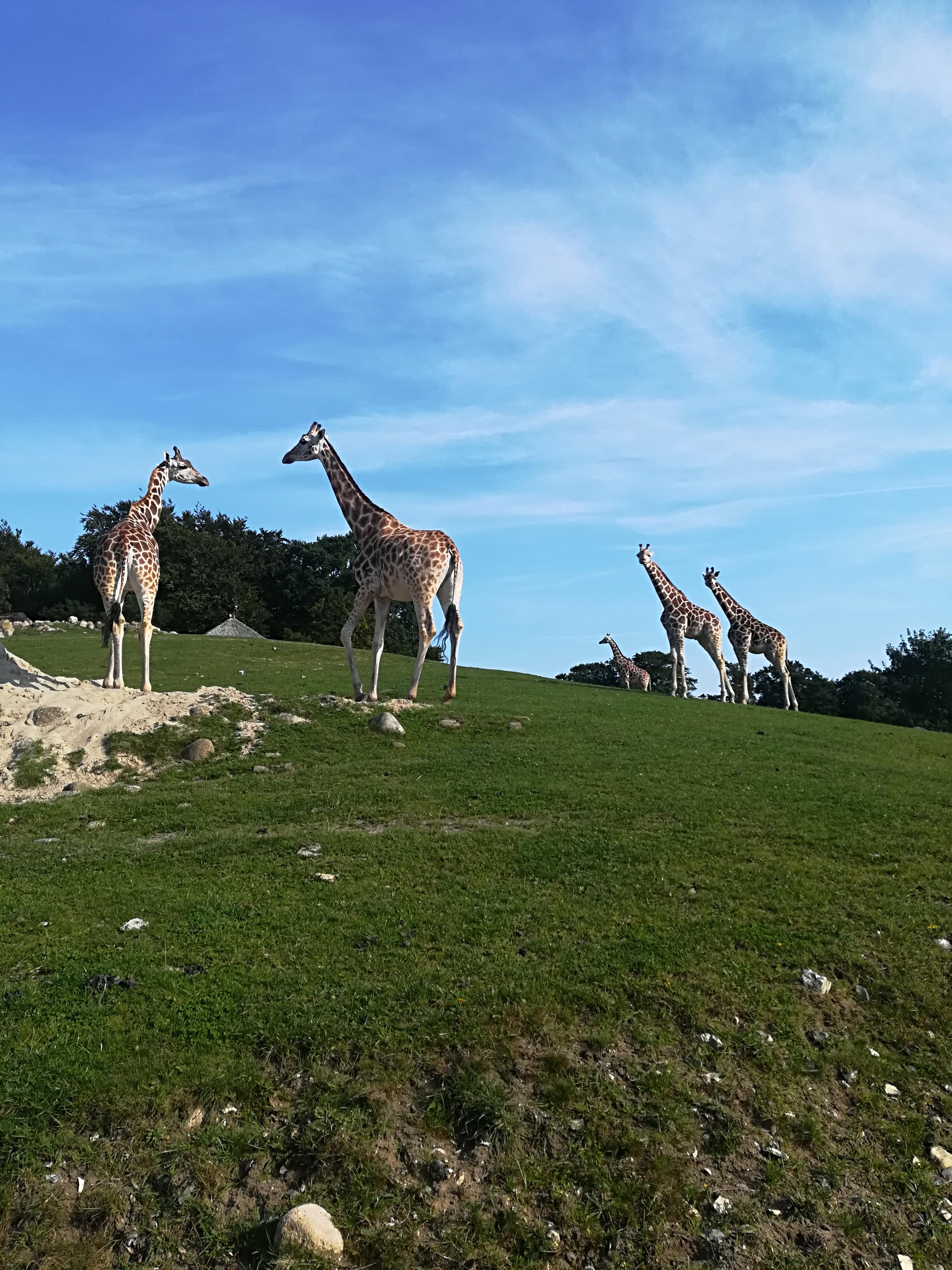 Giraffer i Ree Park